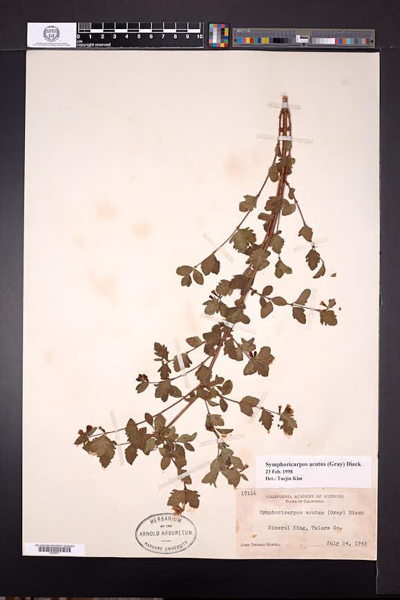 Symphoricarpos acutus image