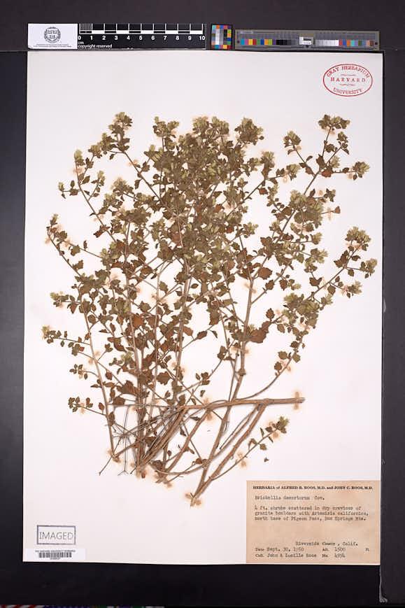 Brickellia desertorum image