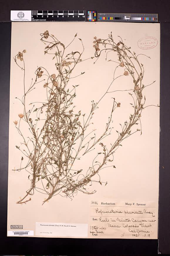 Pleurocoronis pluriseta image