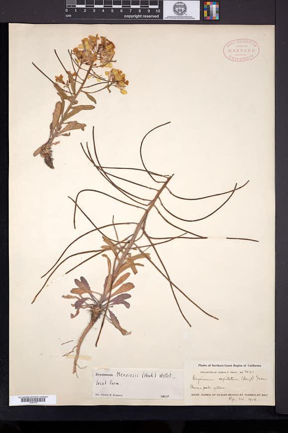 Image of Erysimum menziesii