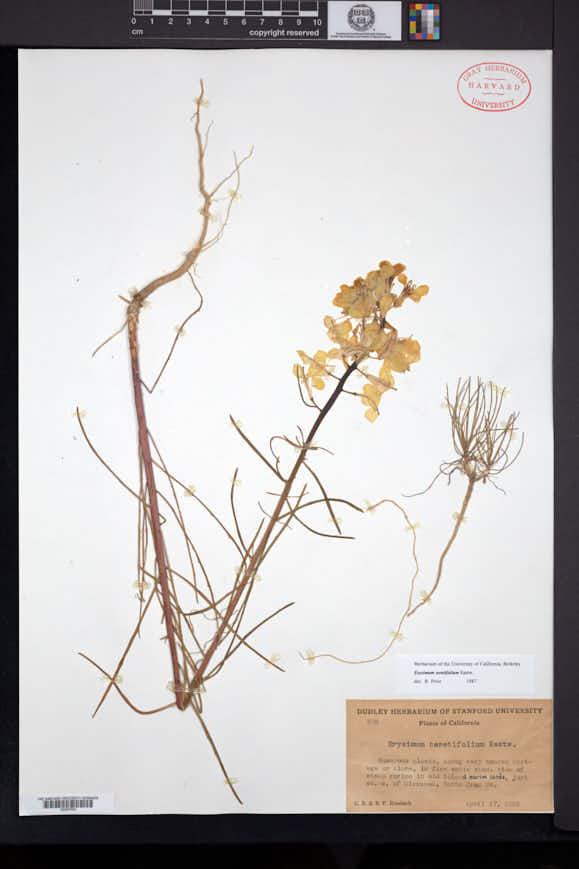 Image of Erysimum teretifolium