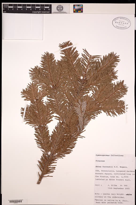 Image of Abies forrestii