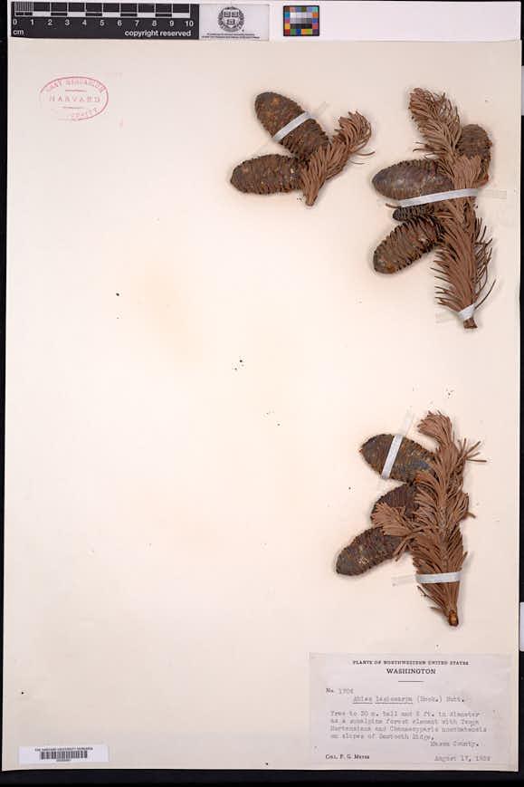 Abies lasiocarpa image