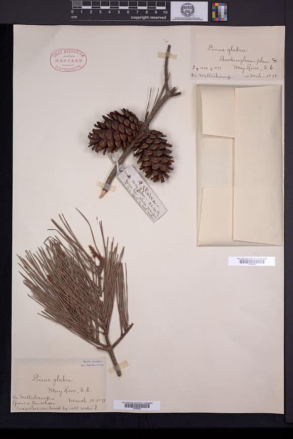 Pinus glabra image