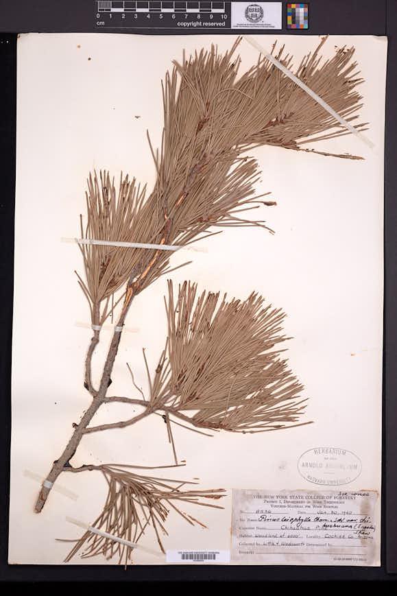 Pinus leiophylla image