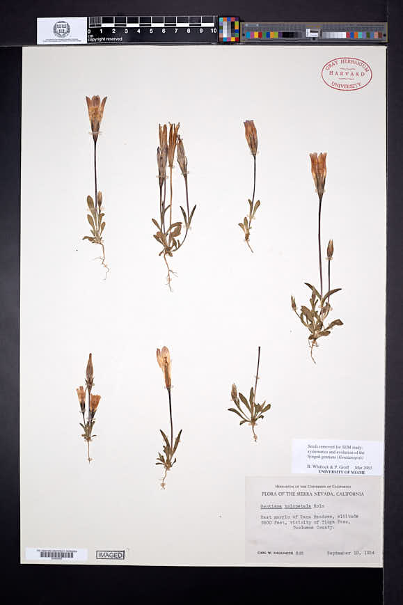 Gentianopsis holopetala image