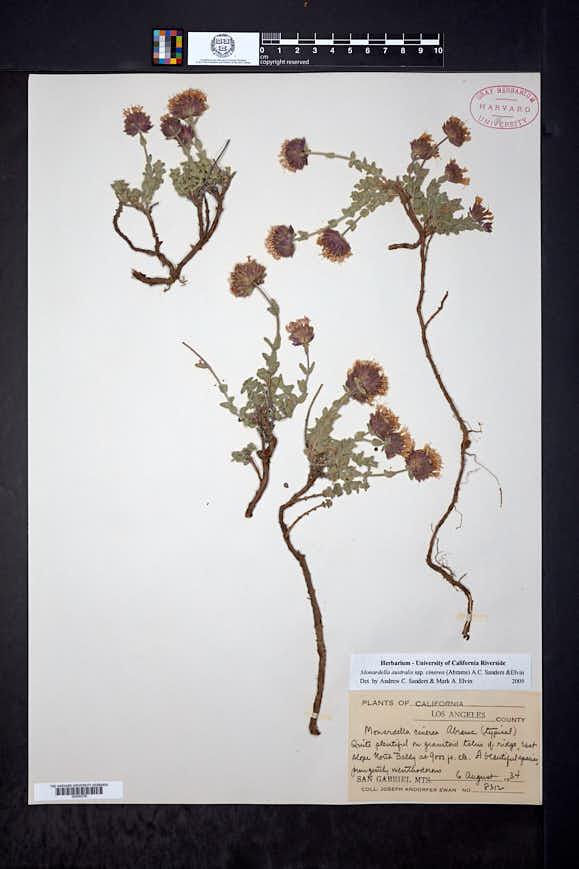 Monardella australis image