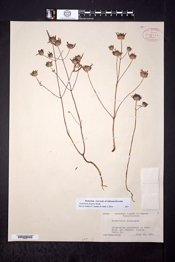 Monardella douglasii image
