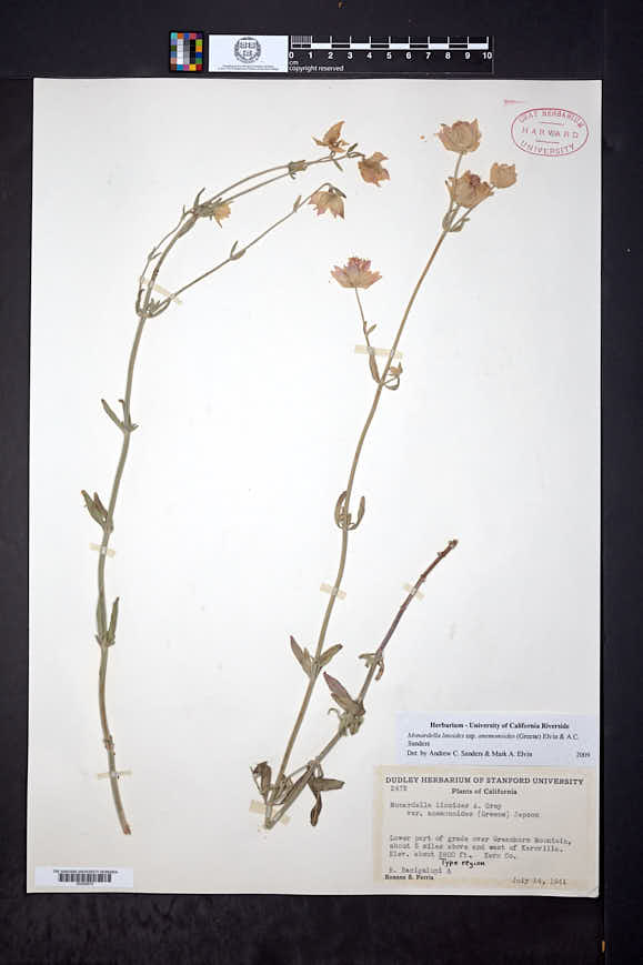 Monardella linoides subsp. anemonoides image