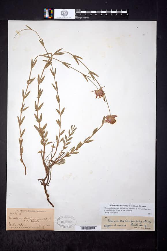 Image of Monardella australis