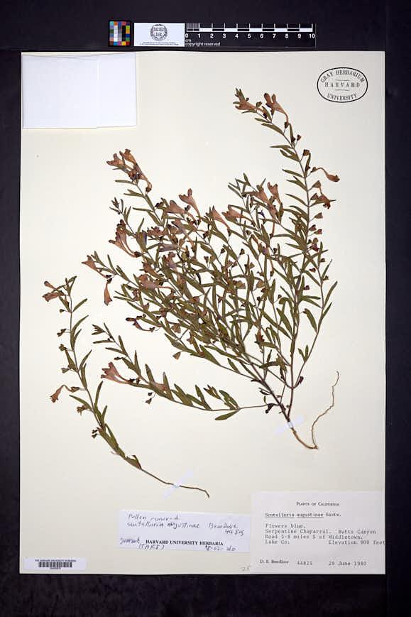 Scutellaria austiniae image