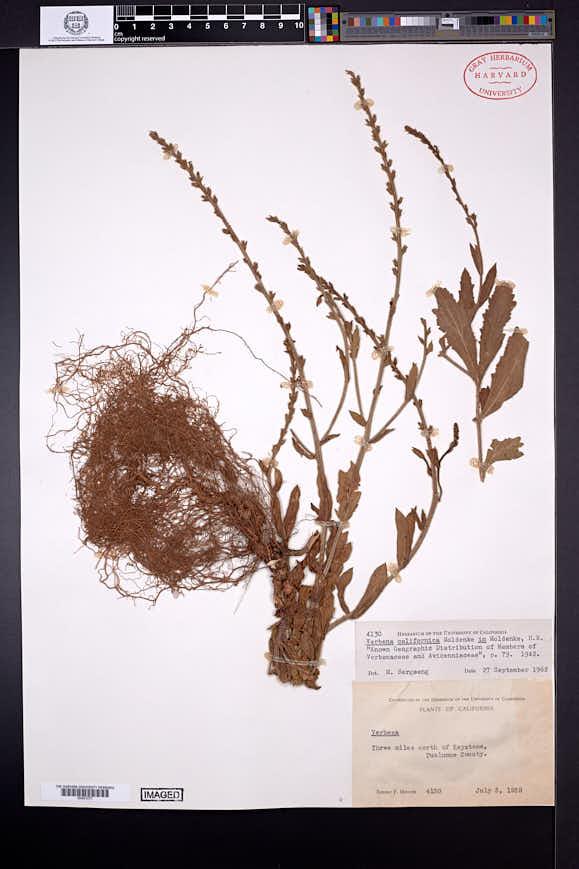 Image of Verbena californica