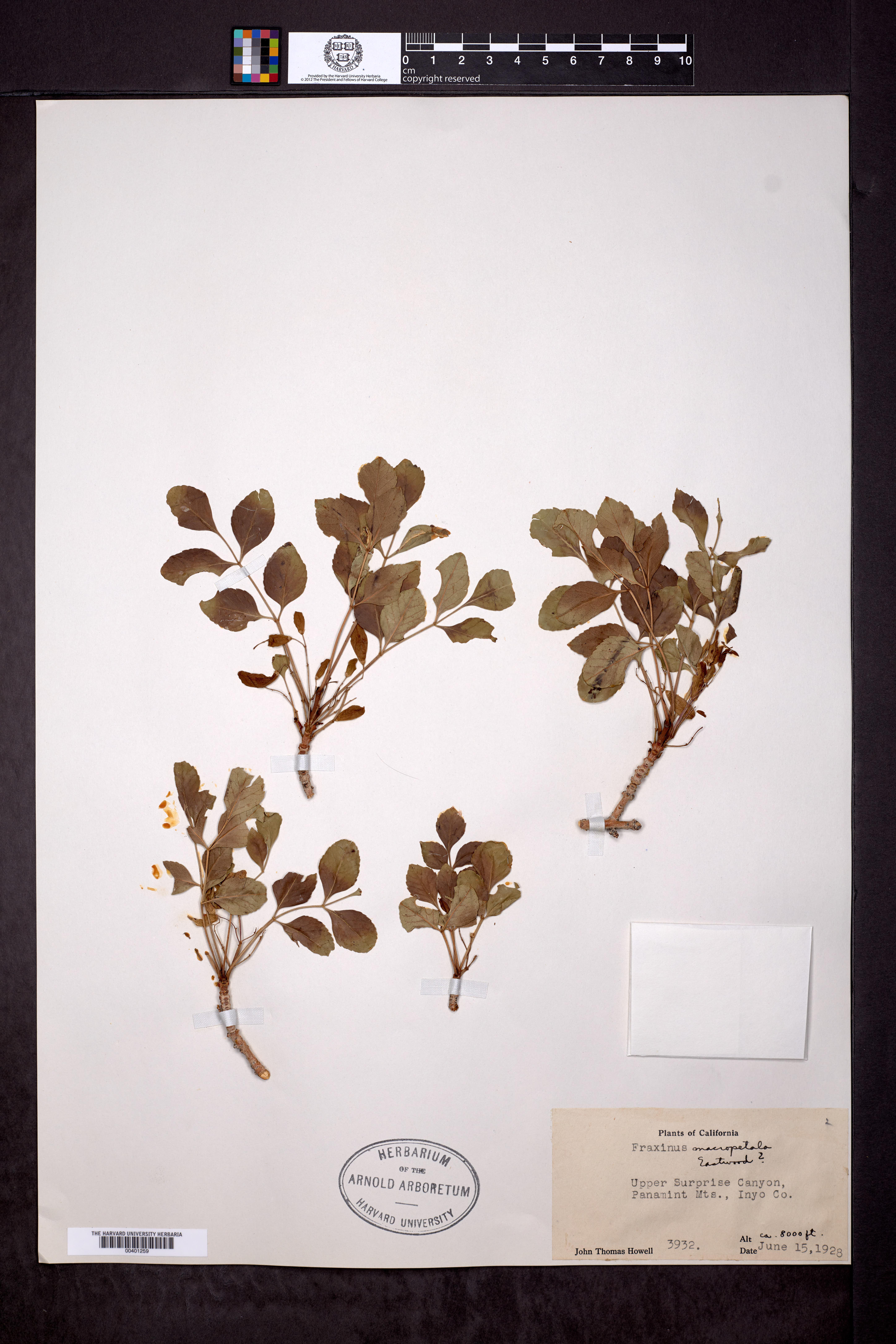 Image of Fraxinus macropetala