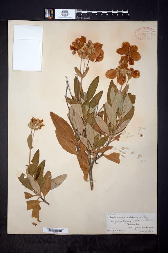 Carpenteria californica image