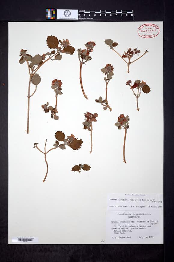 Jamesia americana var. rosea image
