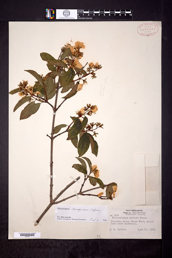 Image of Philadelphus confusus