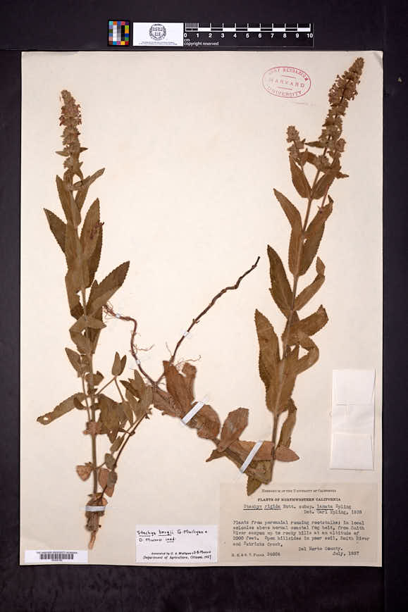 Image of Stachys bergii