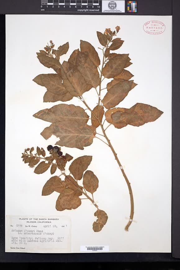 Solanum clokeyi image