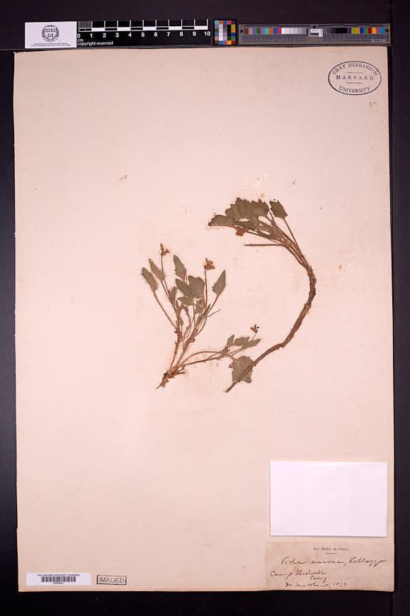 Viola aurea image