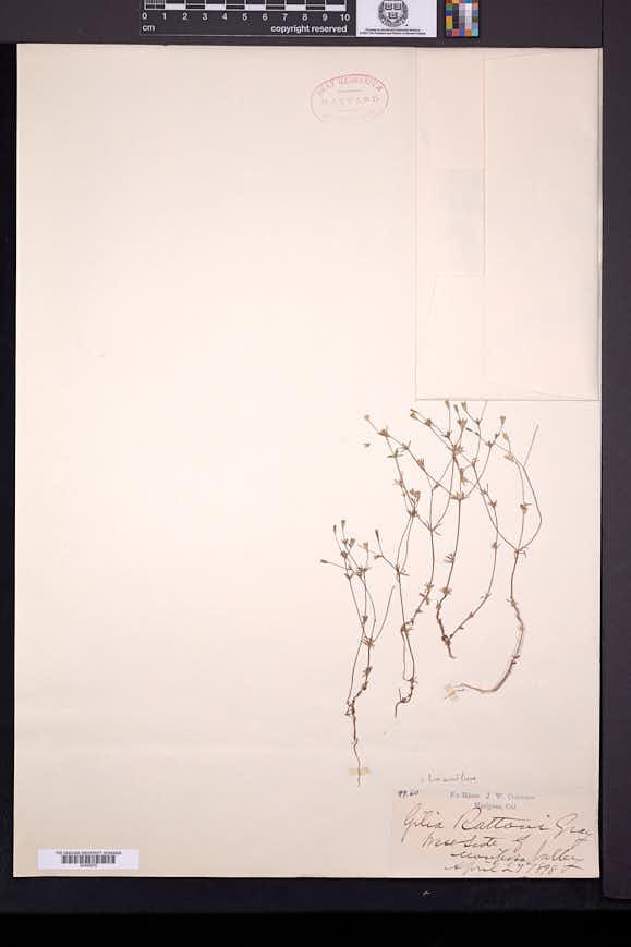 Image of Leptosiphon rattanii