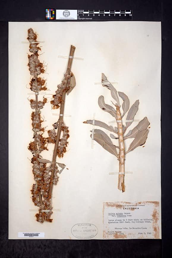 Salvia apiana var. compacta image
