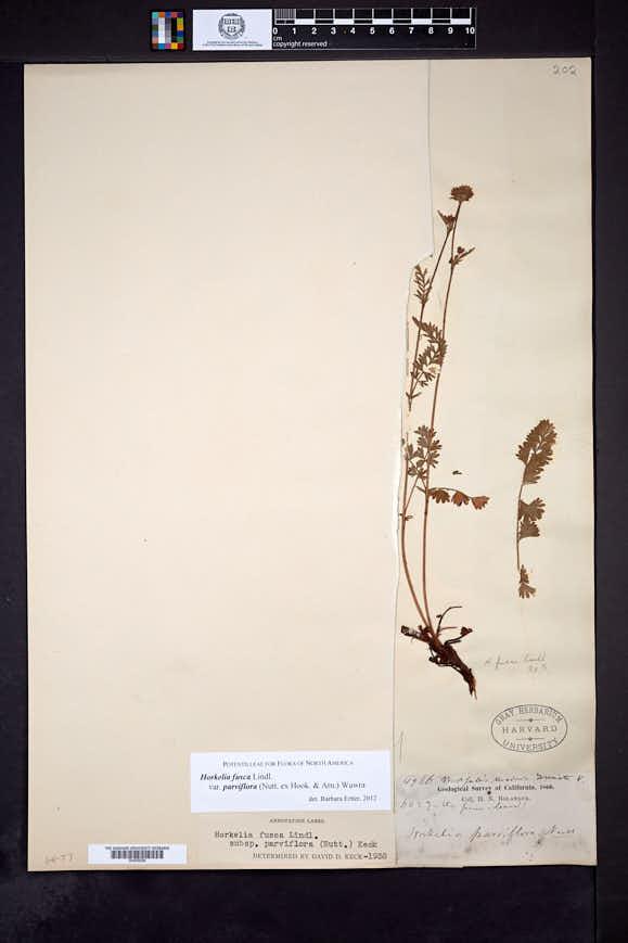 Horkelia fusca var. parviflora image