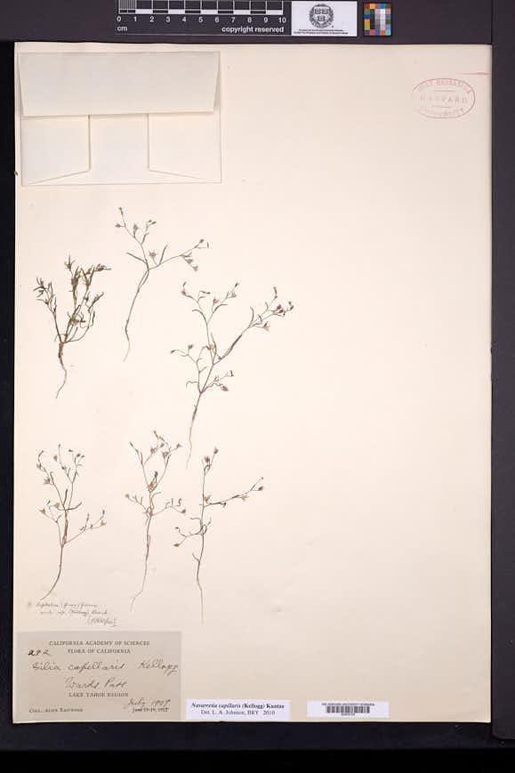 Navarretia capillaris image
