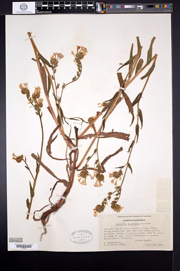 Amsinckia eastwoodiae image