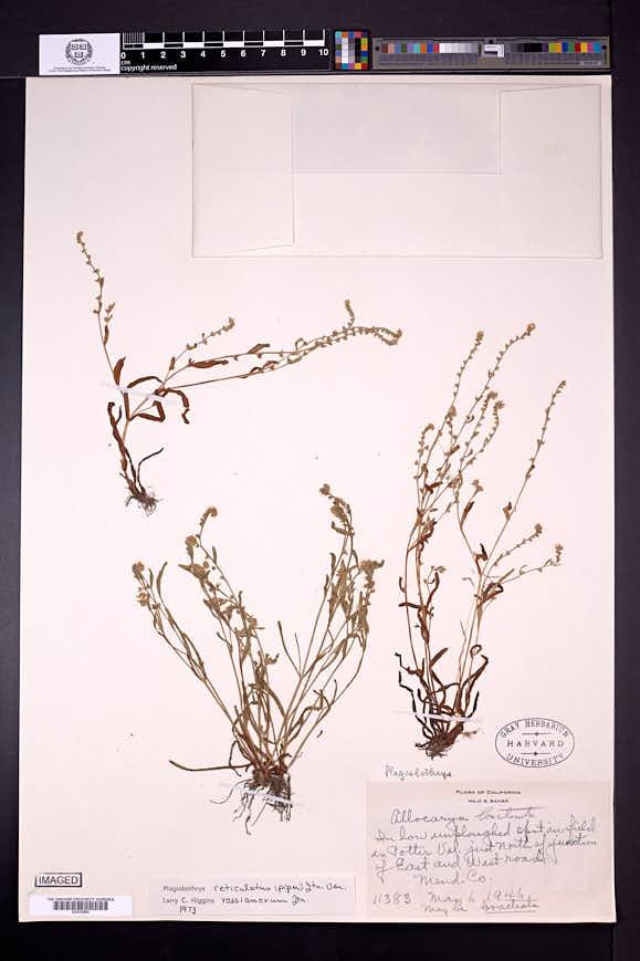 Plagiobothrys reticulatus image