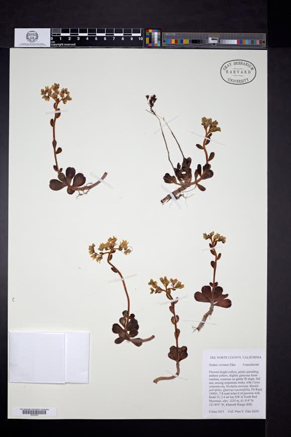 Image of Sedum citrinum