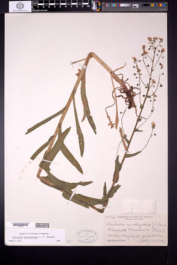 Image of Hackelia amethystina