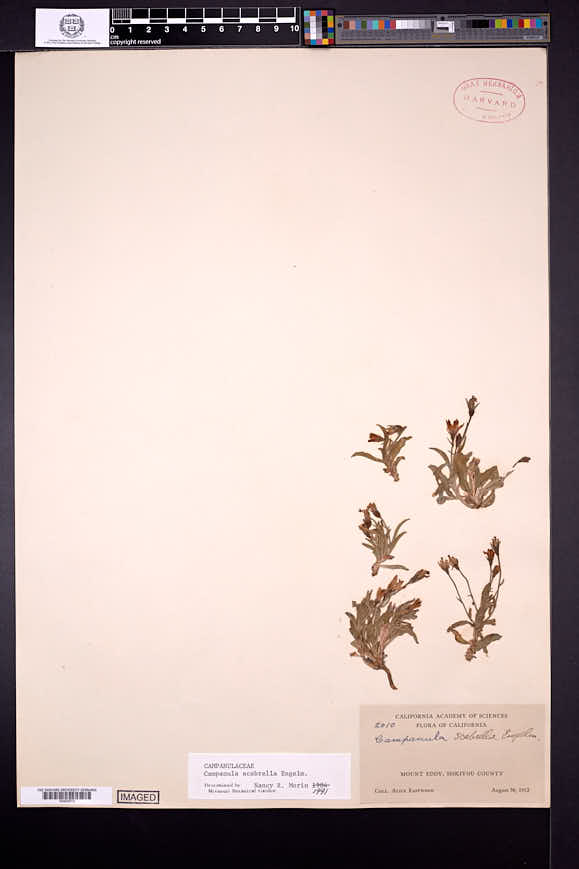 Campanula scabrella image