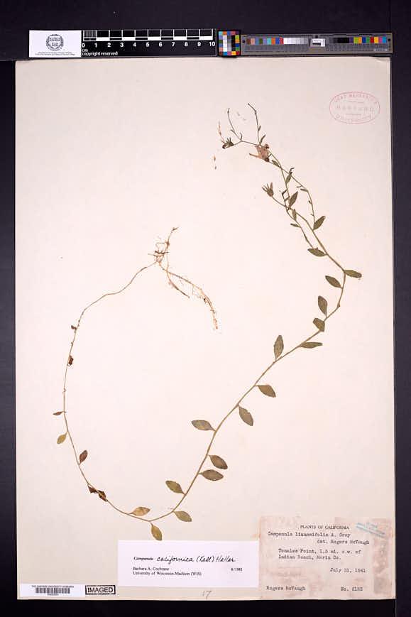 Campanula californica image