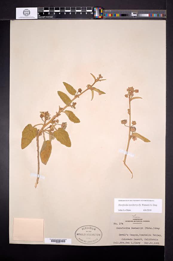 Horsfordia newberryi image
