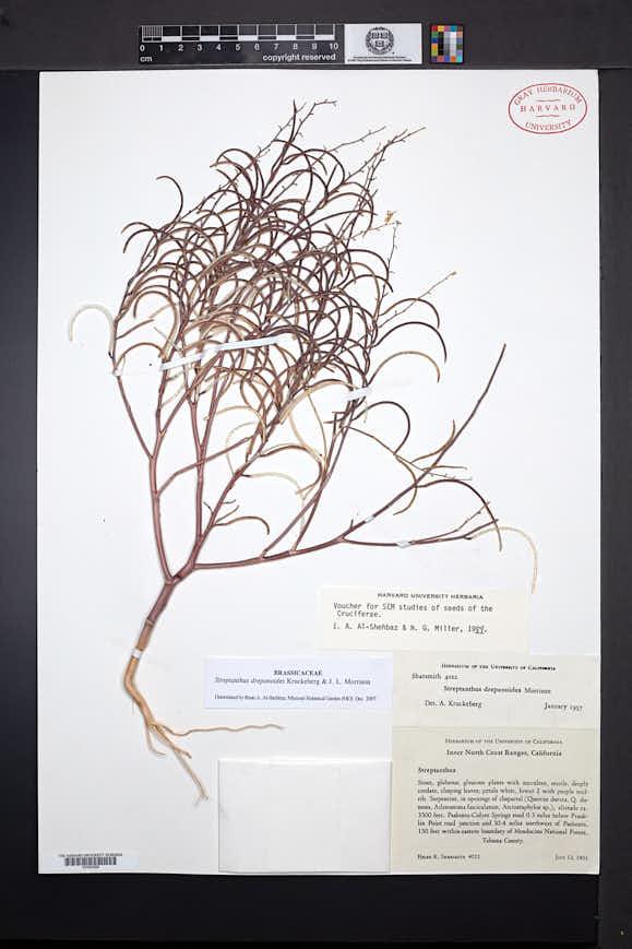 Image of Streptanthus drepanoides