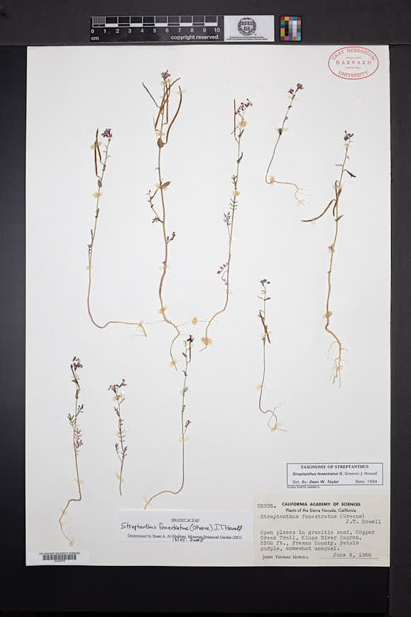 Image of Streptanthus fenestratus