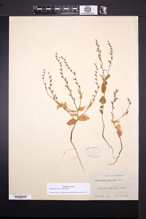 Image of Streptanthus hesperidis