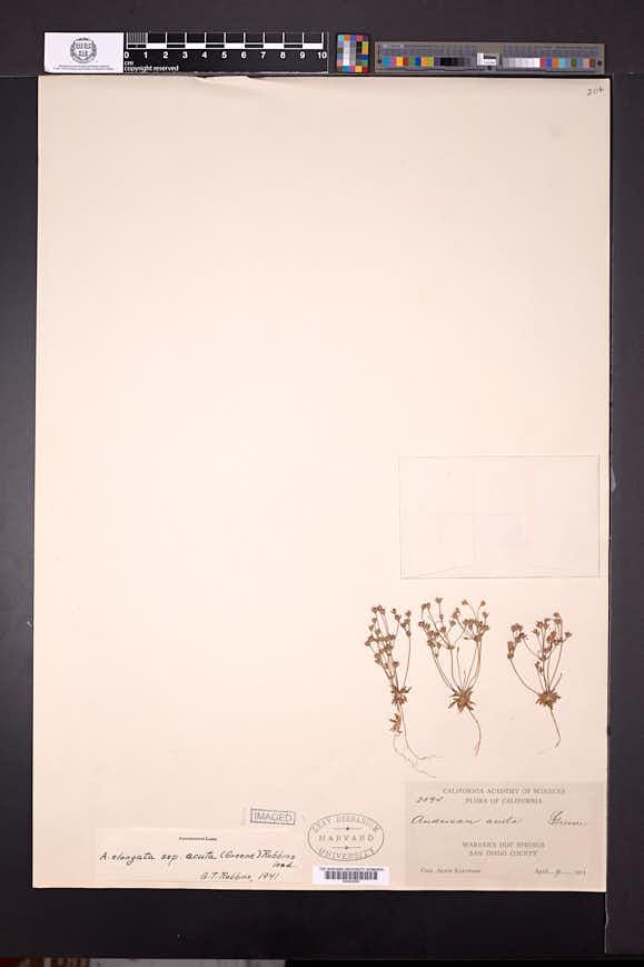 Androsace elongata image