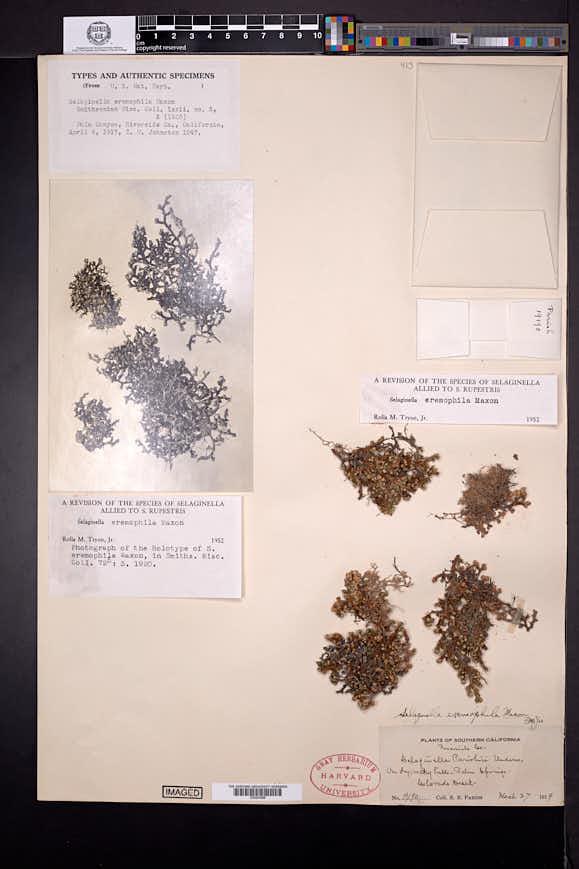 Selaginella eremophila image