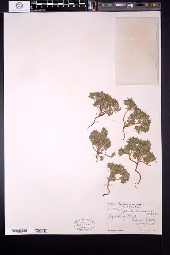 Greeneocharis circumscissa image