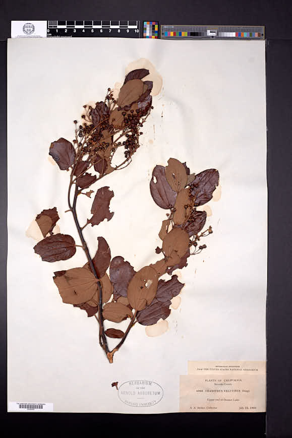 Ceanothus velutinus image