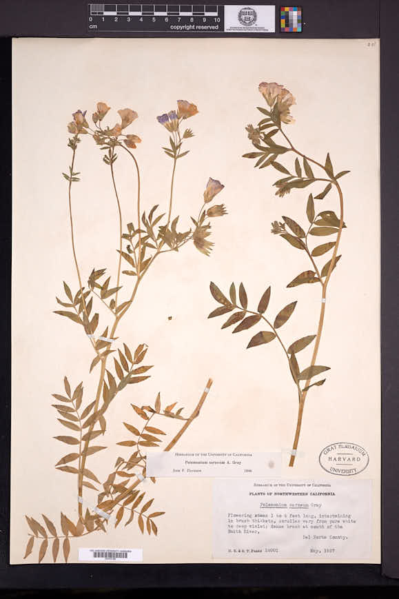 Polemonium carneum image