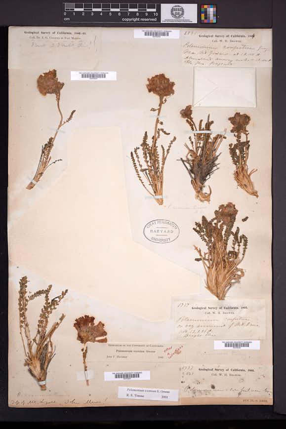 Image of Polemonium eximium