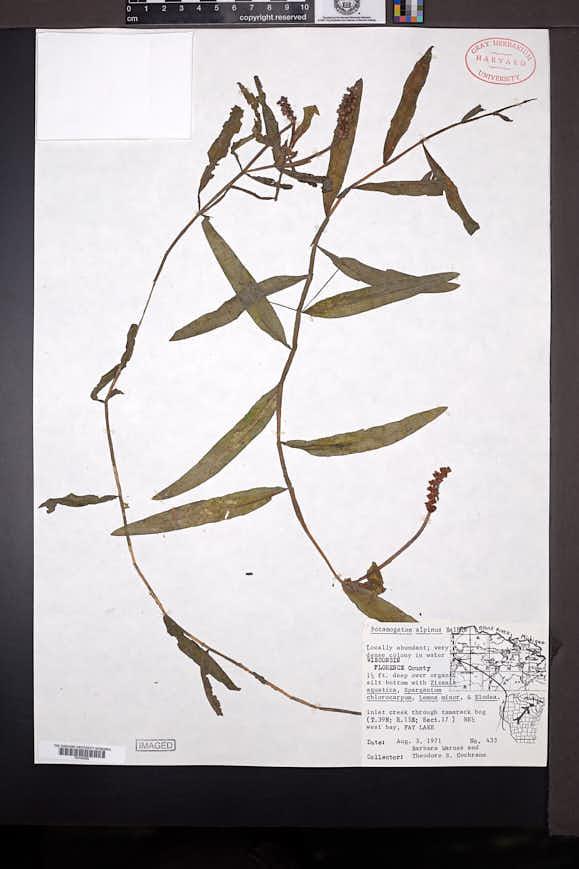 Potamogeton alpinus image