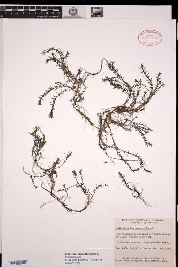 Callitriche hermaphroditica image