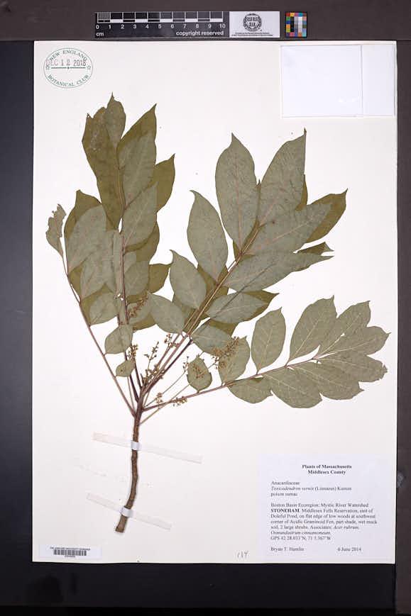 Toxicodendron vernix image