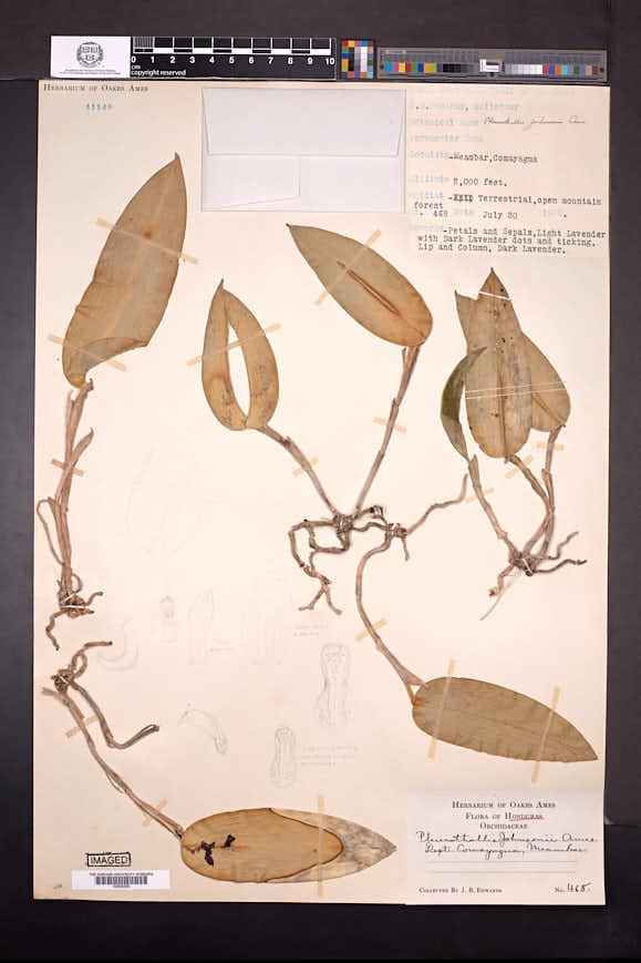 Acianthera johnsonii image