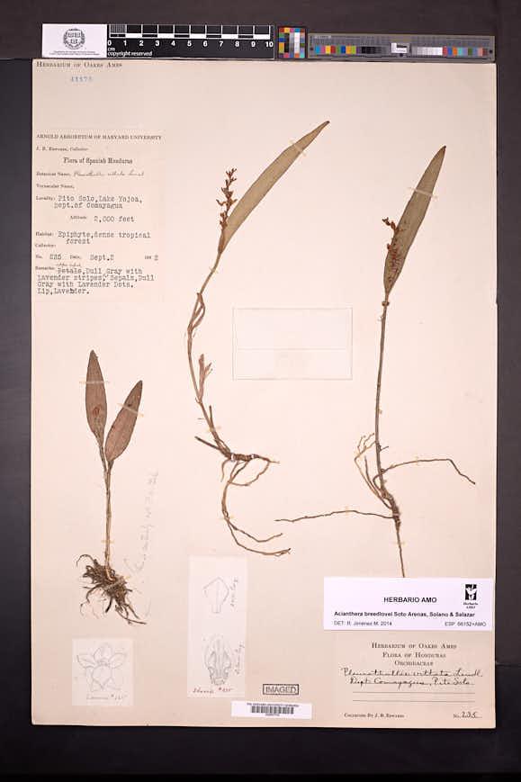 Acianthera breedlovei image
