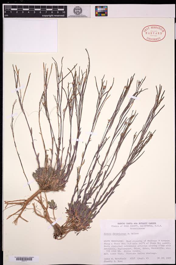 Boechera divaricarpa image