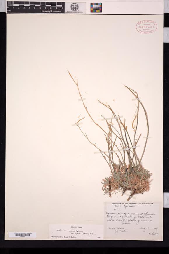 Boechera fernaldiana image